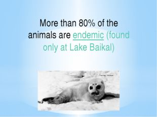 More than 80% of the animals areendemic(found only at Lake Baikal)