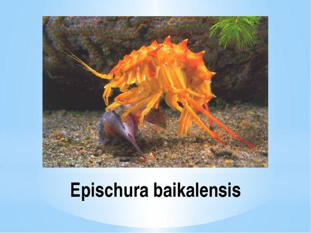 Epischura baikalensis