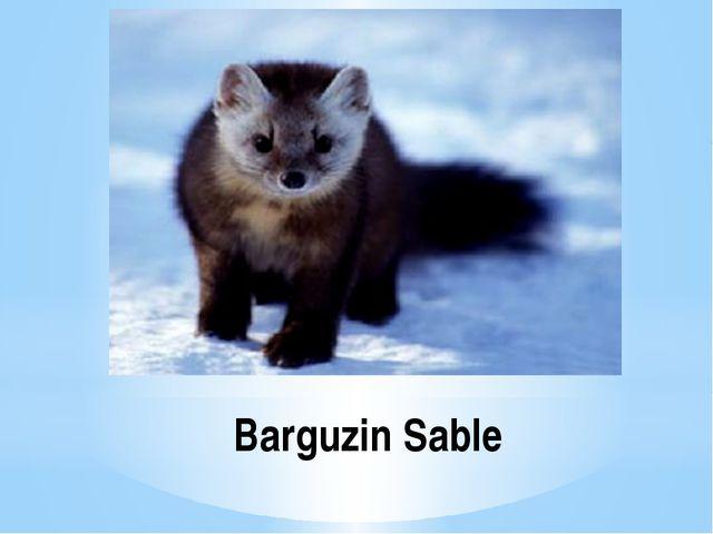 Barguzin Sable