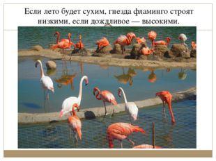 Если лето будет сухим, гнезда фламинго строят низкими, если дождливое— высок