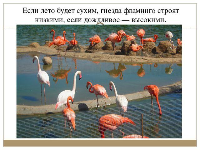 Если лето будет сухим, гнезда фламинго строят низкими, если дождливое— высок...