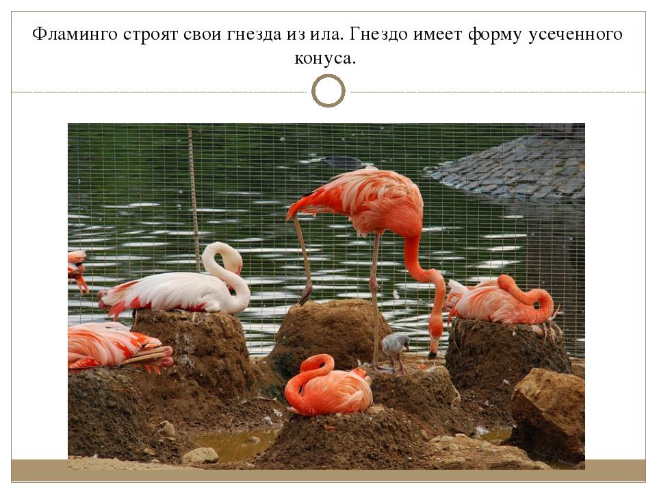 Фламинго строят свои гнезда из ила. Гнездо имеет форму усеченного конуса.