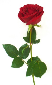 D:\ЛАРИСА\Рабочий стол\rose_red_600.jpg