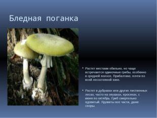 Бледная поганка Растет местами обильно, но чаще встречаются одиночные грибы,