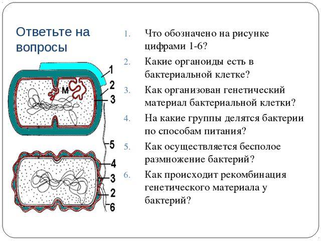 На рисунке под цифрой 1 изображен органоид клетки
