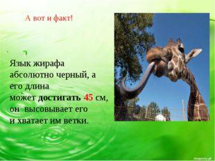 Язык жирафа абсолютно черный, а его длина может достигать 45 см, он высовывае