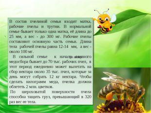 В состав пчелиной семьи входит матка, рабочие пчелы и трутни. В нормальной се