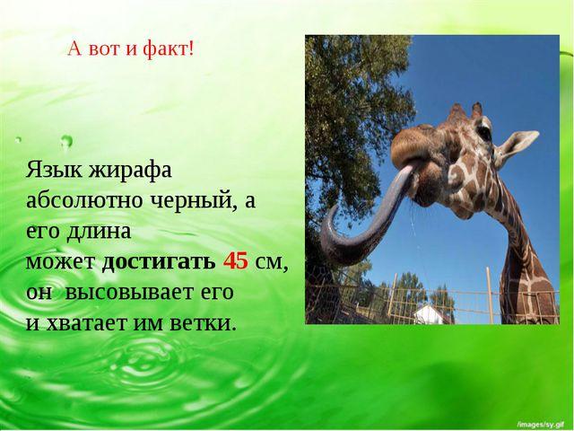 Язык жирафа абсолютно черный, а его длина может достигать 45 см, он высовывае...