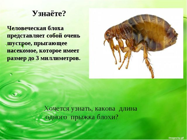 Узнаёте? Человеческая блоха представляет собой очень шустрое, прыгающее насек...