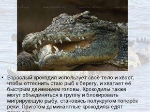 Взрослый крокодил использует своё тело и хвост, чтобы оттеснить стаю рыб к бе