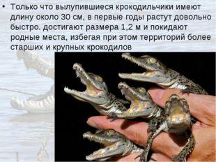 Только что вылупившиеся крокодильчики имеют длину около 30см, в первые годы