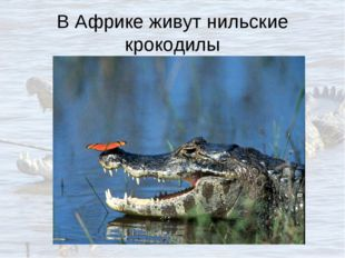 В Африке живут нильские крокодилы