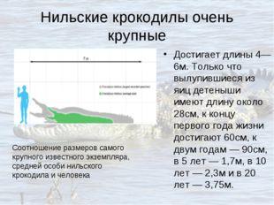 Нильские крокодилы очень крупные Достигает длины 4—6м. Только что вылупившиес