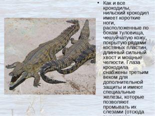 Как и все крокодилы, нильский крокодил имеет короткие ноги, расположенные по