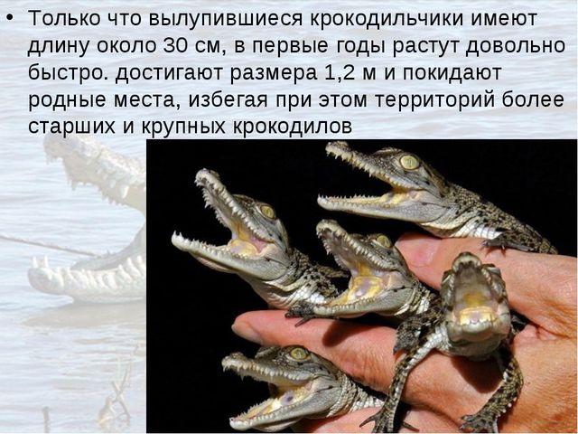 Только что вылупившиеся крокодильчики имеют длину около 30см, в первые годы...