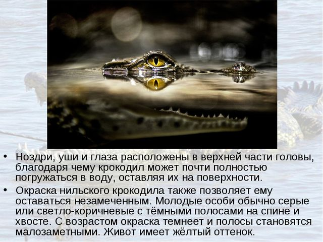 Ноздри, уши и глаза расположены в верхней части головы, благодаря чему крокод...