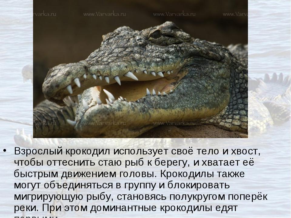 Взрослый крокодил использует своё тело и хвост, чтобы оттеснить стаю рыб к бе...