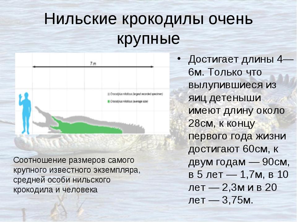 Нильские крокодилы очень крупные Достигает длины 4—6м. Только что вылупившиес...