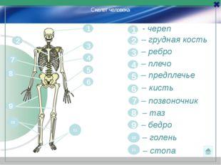 1 - череп 1 2 – грудная кость 2 – ребро 3 3 – плечо 4 4 5 – предплечье 5 6 –
