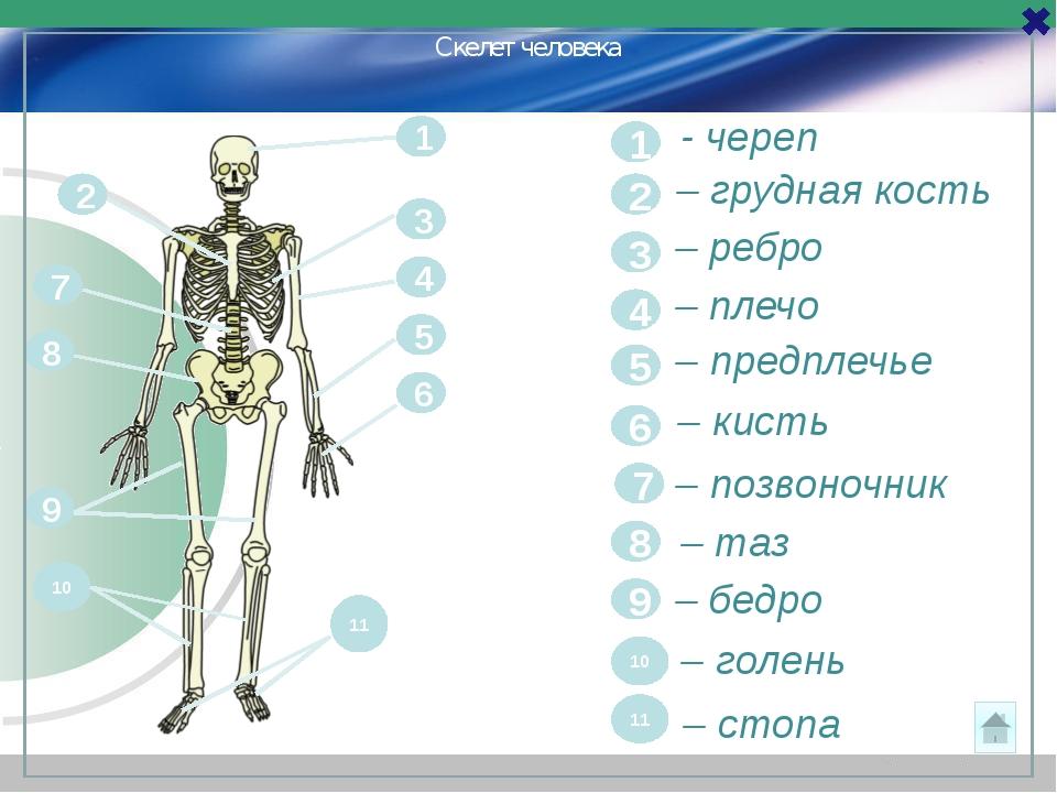 1 - череп 1 2 – грудная кость 2 – ребро 3 3 – плечо 4 4 5 – предплечье 5 6 –...