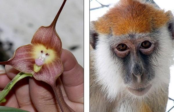 Орхидея-обезьянка