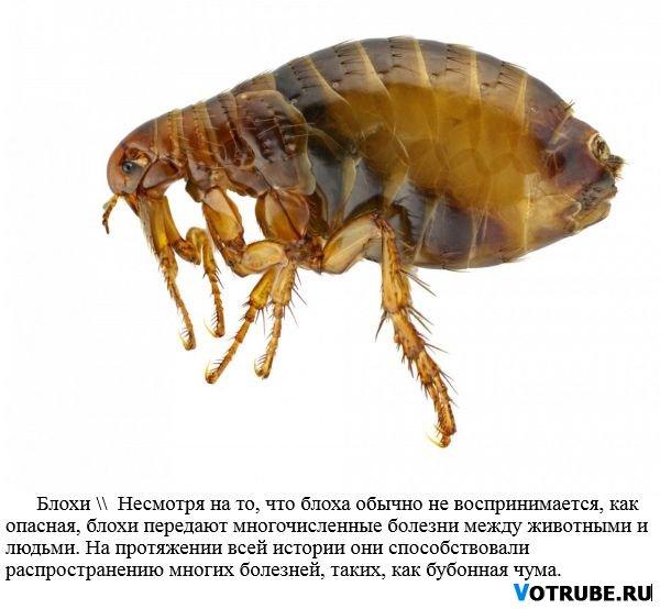 Топ-8 самых опасных для человека насекомых планеты VS4a3809_Z_blecha - MixStuff