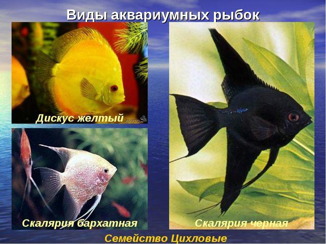 Виды аквариумных рыбок Семейство Цихловые