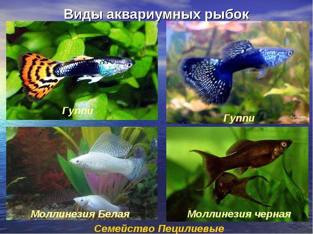 Виды аквариумных рыбок Семейство Пецилиевые