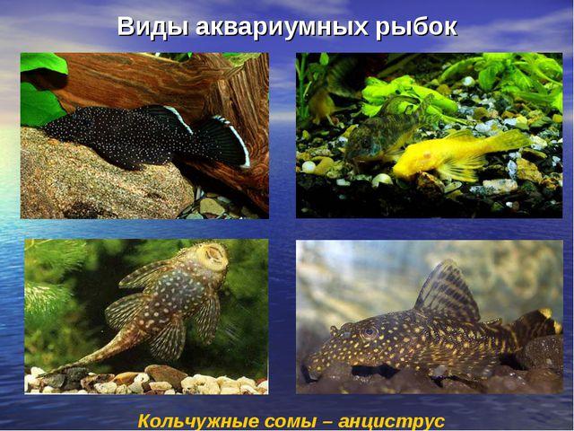 Виды аквариумных рыбок Кольчужные сомы – анциструс