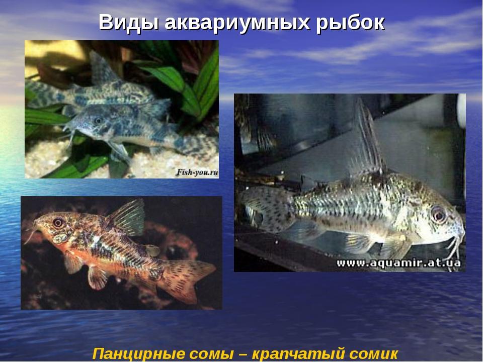 Виды аквариумных рыбок Панцирные сомы – крапчатый сомик