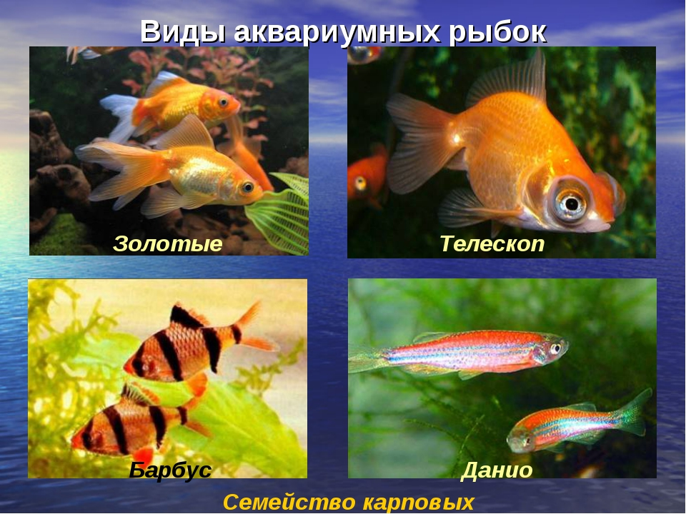 Виды аквариумных рыбок Семейство карповых