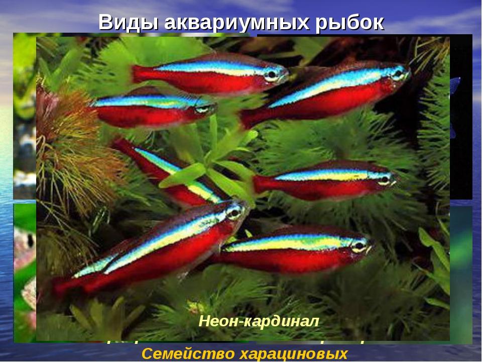Виды аквариумных рыбок Семейство харациновых