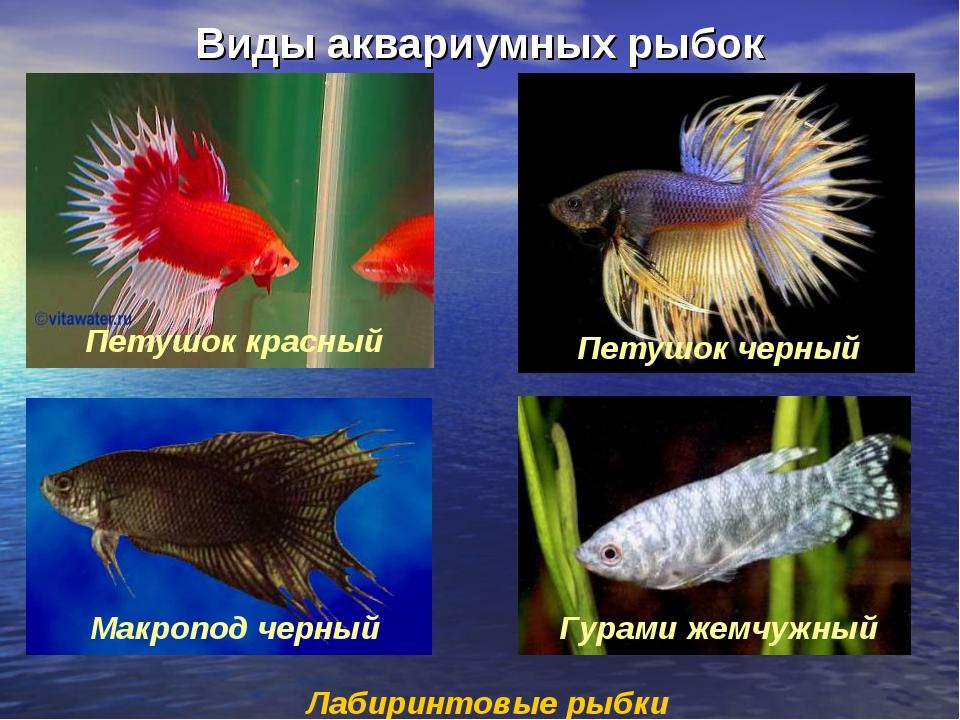 Виды аквариумных рыбок Лабиринтовые рыбки