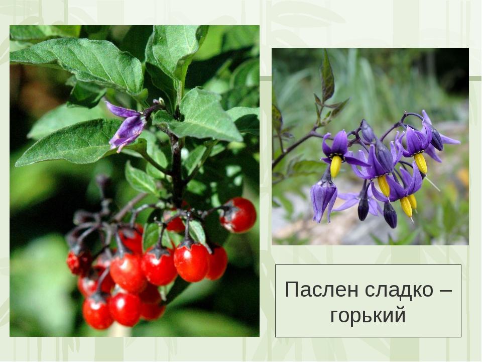 Паслён сладко-горький выращивание 4