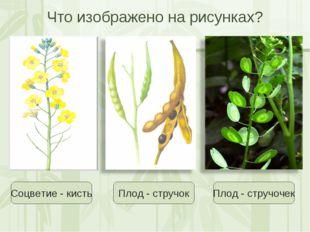 Что изображено на рисунках? Соцветие - кисть Плод - стручок Плод - стручочек