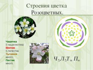Строения цветка Розоцветных. Чашечка 5 чашелистика Венчик 5 лепестка Тычинки