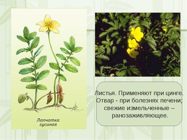Листья. Применяют при цинге. Отвар - при болезнях печени; свежие измельченны...