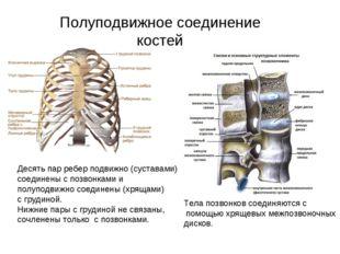 Полуподвижное соединение костей Десять пар ребер подвижно (суставами) соедине