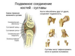 Подвижное соединение костей - суставы Кости обособлены друг от друга, сохраня