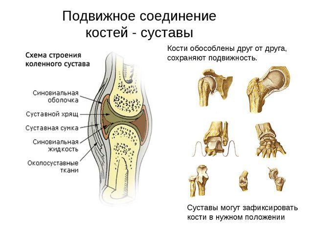 Подвижное соединение костей - суставы Кости обособлены друг от друга, сохраня...
