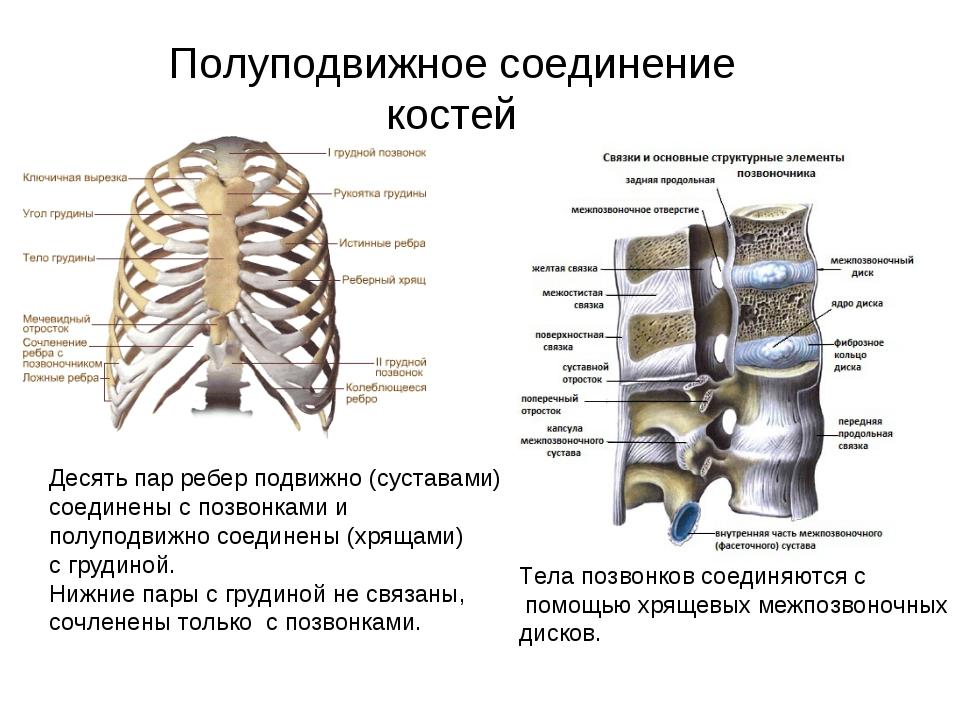 Полуподвижное соединение костей Десять пар ребер подвижно (суставами) соедине...