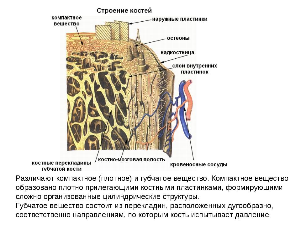 Различают компактное (плотное) и губчатое вещество. Компактное вещество образ...