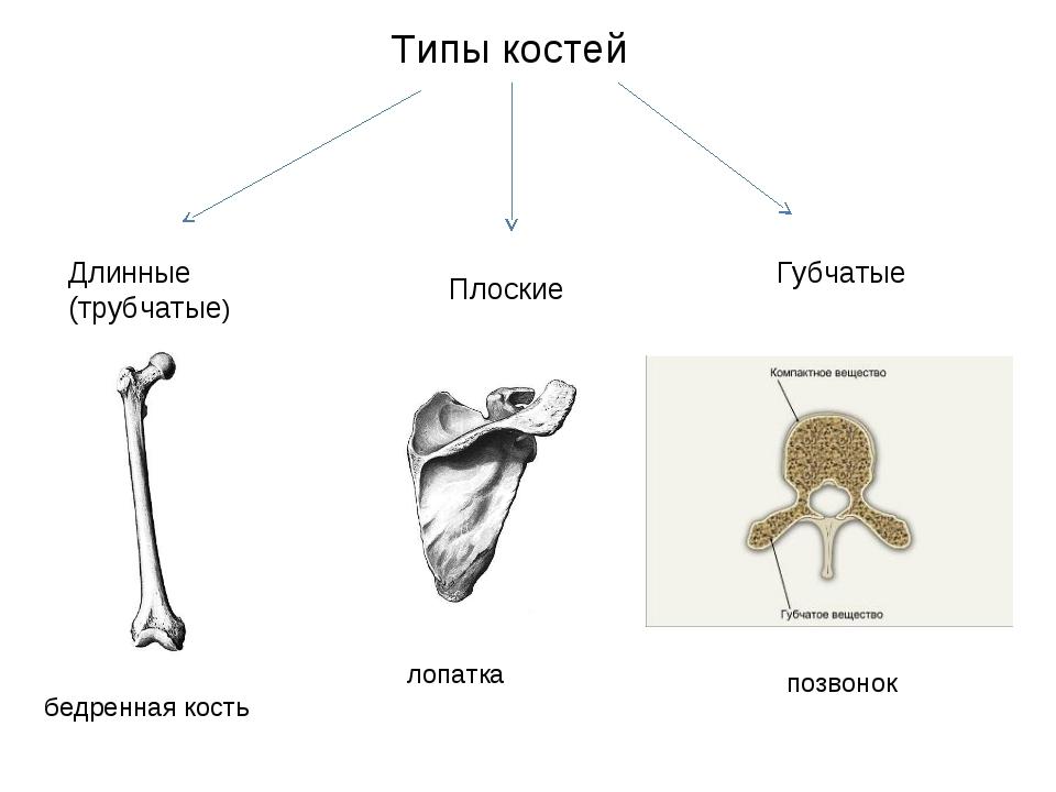 Типы костей Длинные (трубчатые) Плоские Губчатые позвонок лопатка бедренная к...