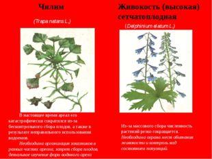 Живокость (высокая) сетчатоплодная Чилим (Trapa natans L.) (Delphinium elatum