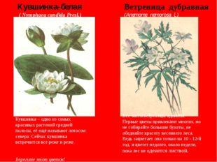 Кувшинка – одно из самых красивых растений средней полосы, её ещё называют