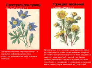 Прострел (сон-трава) (Pulsatilla patens L.) Горицвет весенний (Adonis vernal