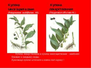 Купена многоцветковая (Polygonatum multiflorum All) Купена лекарственная (Po