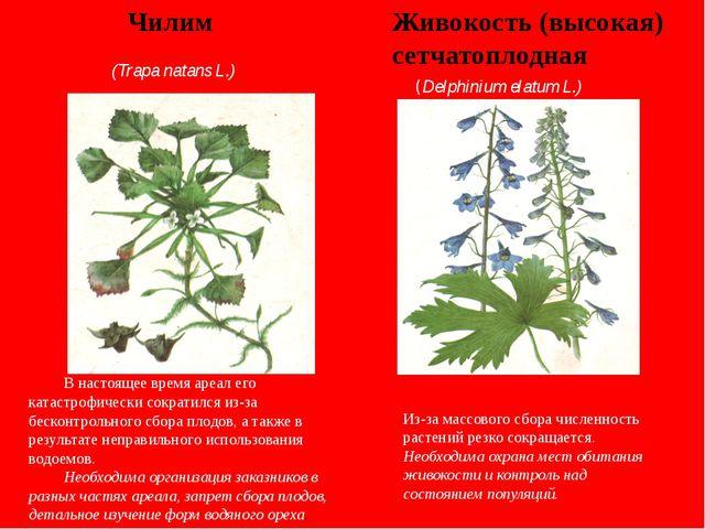 Живокость (высокая) сетчатоплодная Чилим (Trapa natans L.) (Delphinium elatum...