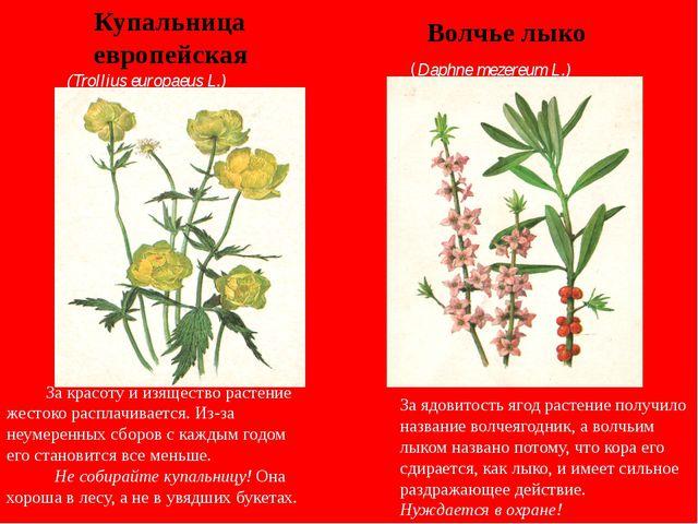 Купальница европейская Волчье лыко (Trollius europaeus L.) (Daphne mezereum L...