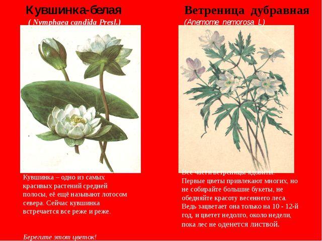 Кувшинка – одно из самых красивых растений средней полосы, её ещё называют...